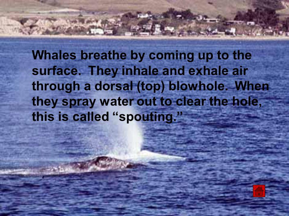 Beluga Whale Delphinapterus leucas Beluga or white whales are not born white.
