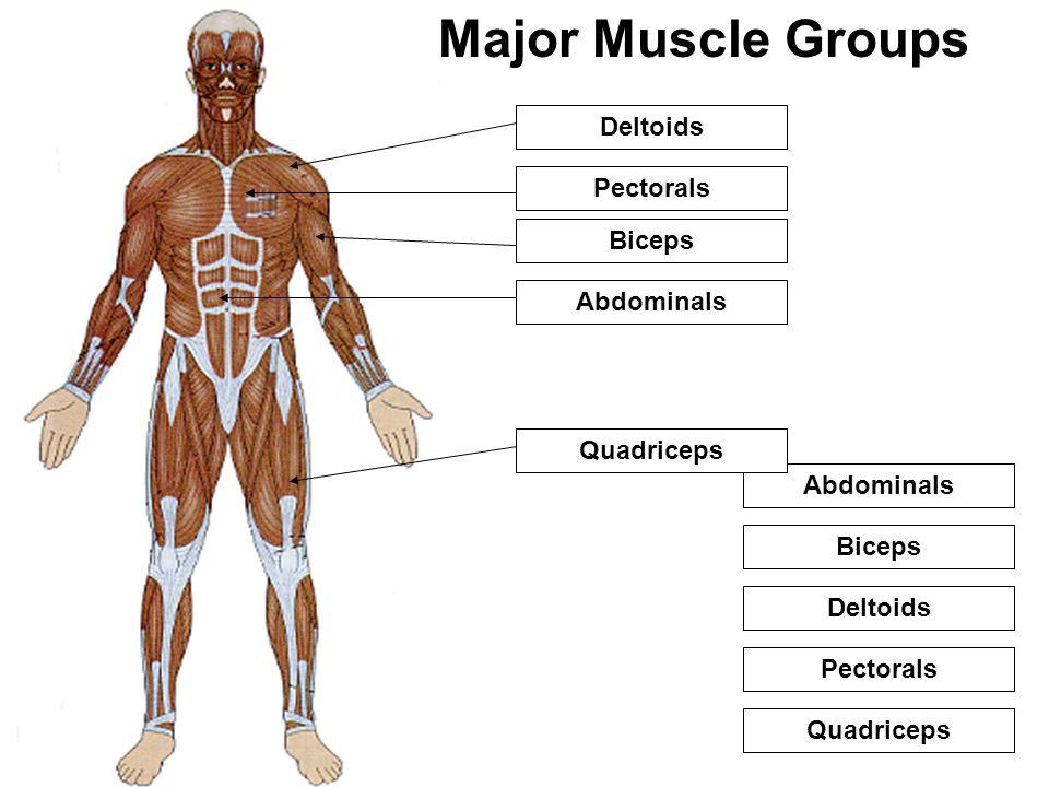 Deltoids Pectorals Biceps Abdominals Quadriceps Major Muscle Groups 1 2 3 4 5 Deltoids Pectorals Biceps Abdominals Quadriceps