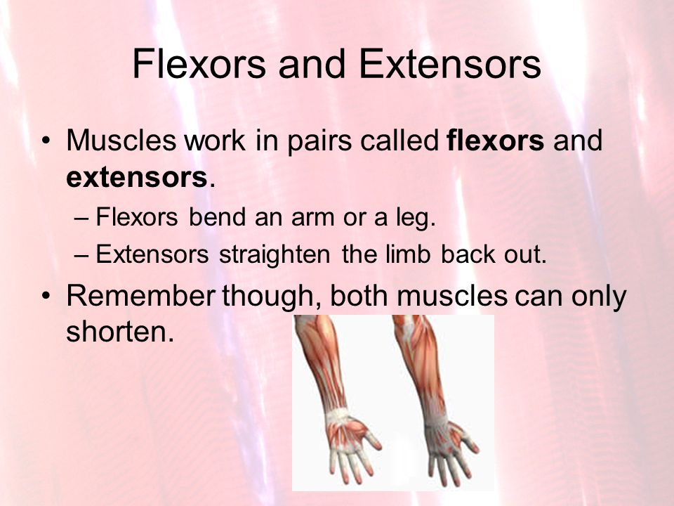 Flexors and Extensors Muscles work in pairs called flexors and extensors. –Flexors bend an arm or a leg. –Extensors straighten the limb back out. Reme