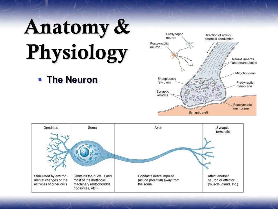  The Neuron Anatomy & Physiology