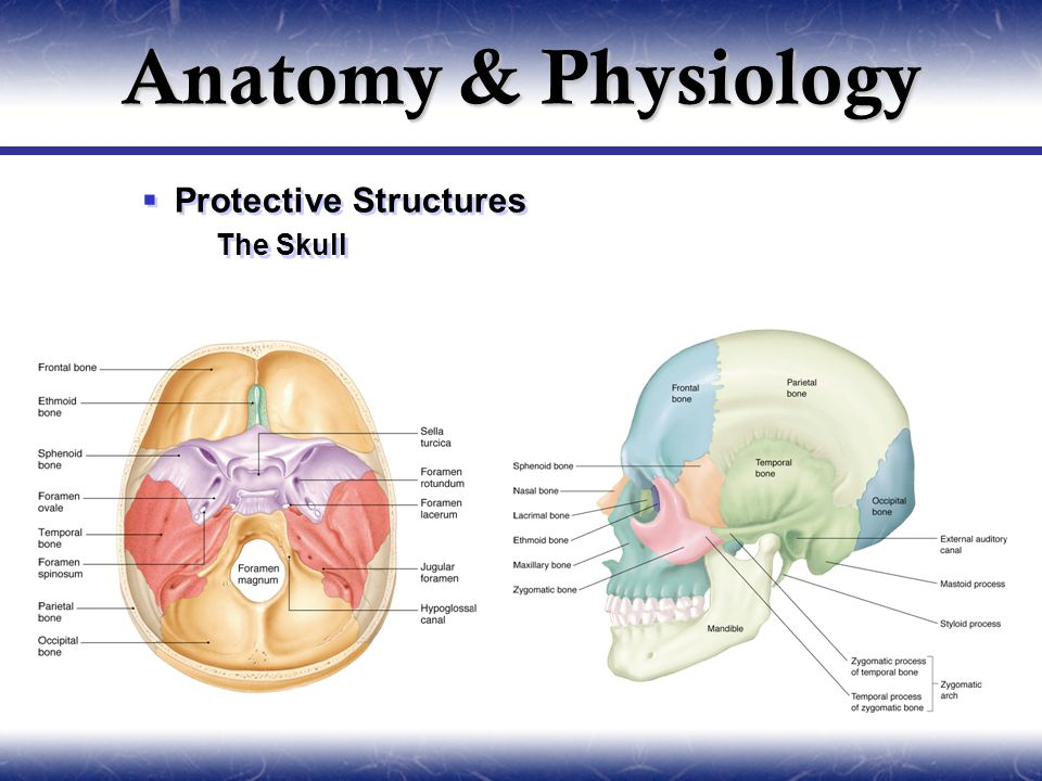  Protective Structures  The Skull  Protective Structures  The Skull