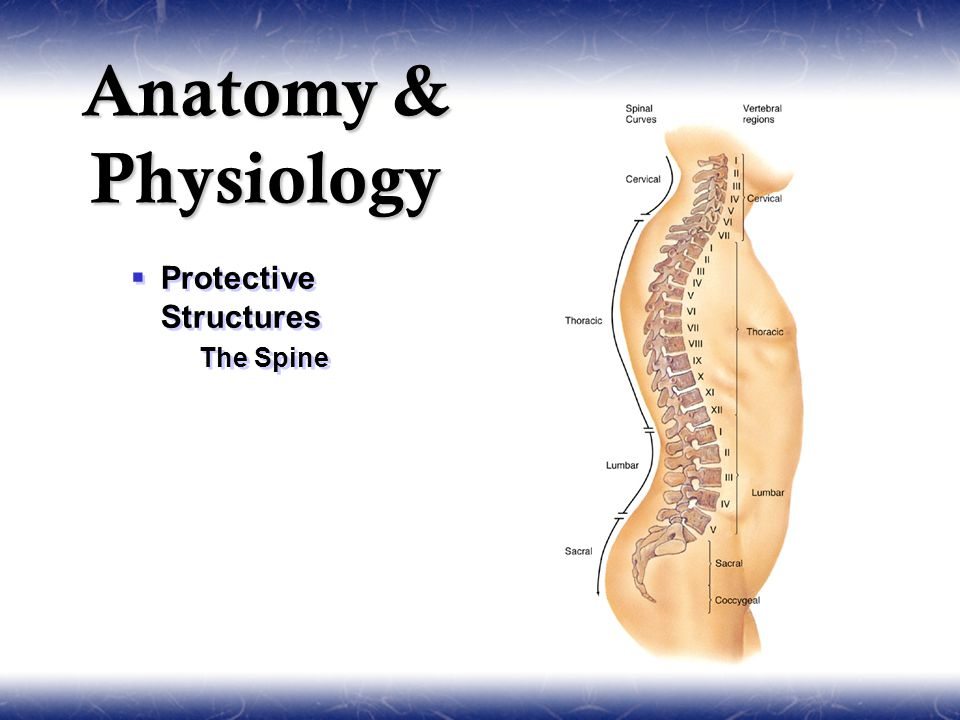  Protective Structures  The Spine  Protective Structures  The Spine Anatomy & Physiology