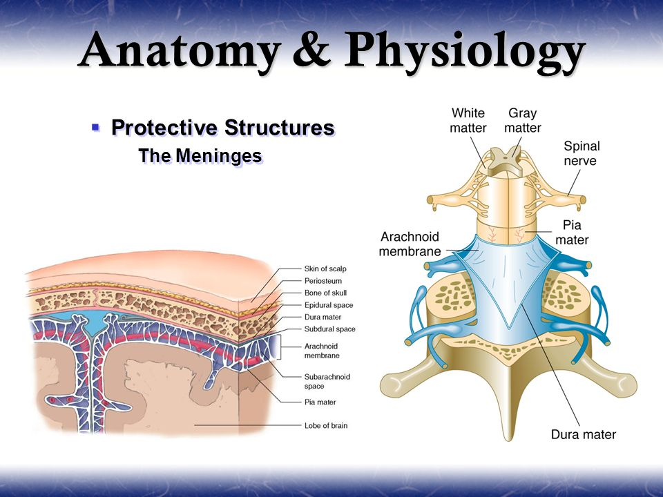  Protective Structures  The Meninges  Protective Structures  The Meninges
