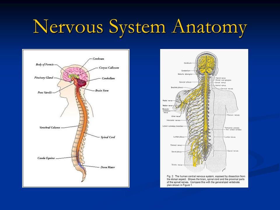 Nervous System Anatomy