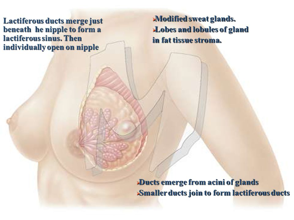  Modified sweat glands.  Lobes and lobules of gland in fat tissue stroma.  Ducts emerge from acini of glands  Smaller ducts join to form lactifero