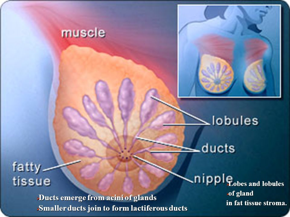 Ducts emerge from acini of glands  Smaller ducts join to form lactiferous ducts  Lobes and lobules  of gland in fat tissue stroma.