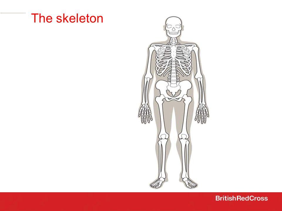 the skeleton The skeleton