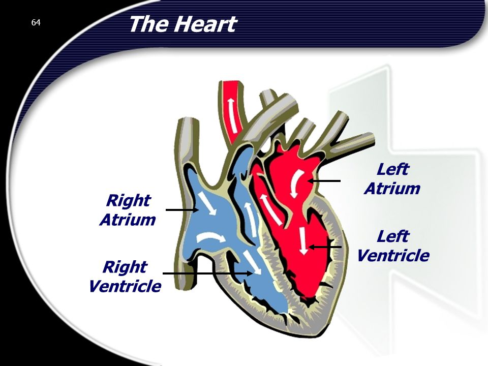 64 The Heart Right Atrium Right Ventricle Left Ventricle Left Atrium 64 © 2002 Abertay Nationwide Training