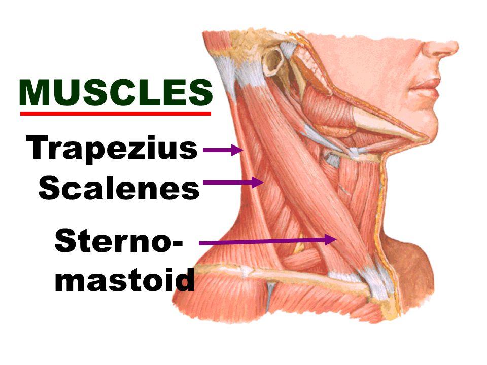 MUSCLES Trapezius Scalenes Sterno- mastoid