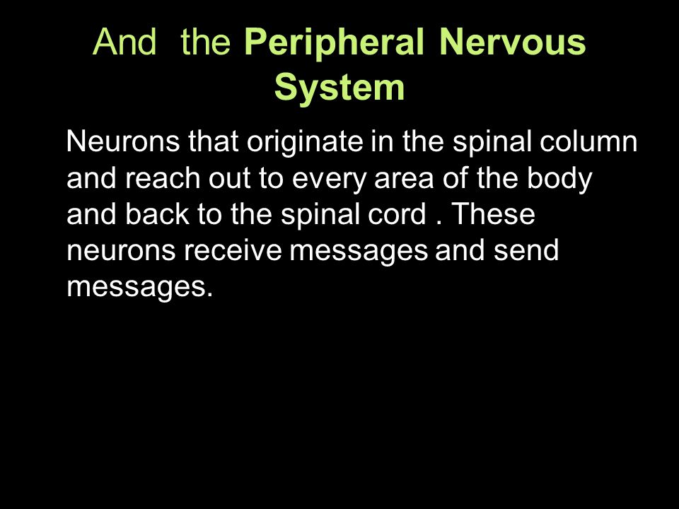 And the Peripheral Nervous System Neurons that originate in the spinal column and reach out to every area of the body and back to the spinal cord.