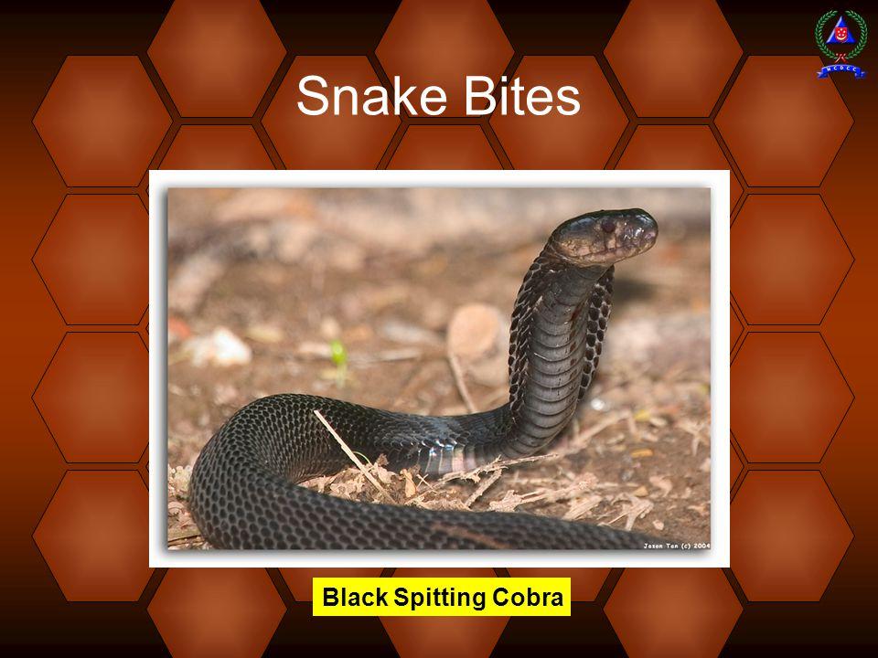 Snake Bites Black Spitting Cobra