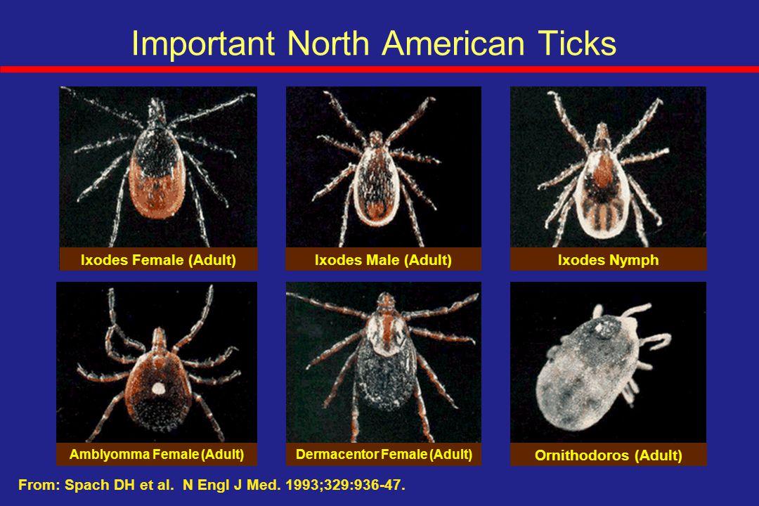 Important North American Ticks Ixodes Female (Adult)Ixodes Male (Adult)Ixodes Nymph Amblyomma Female (Adult)Dermacentor Female (Adult) Ornithodoros (A
