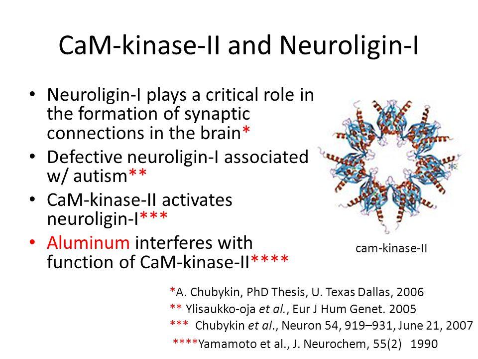 CaM-kinase-II and Neuroligin-I Neuroligin-I plays a critical role in the formation of synaptic connections in the brain* Defective neuroligin-I associated w/ autism** CaM-kinase-II activates neuroligin-I*** Aluminum interferes with function of CaM-kinase-II**** ** Ylisaukko-oja et al., Eur J Hum Genet.