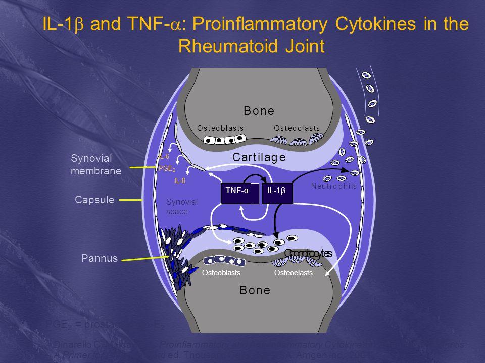 IL-1  and TNF-  : Proinflammatory Cytokines in the Rheumatoid Joint TNF-α IL-1β Neutrophils Osteoclasts Bone Cartilage Osteoblasts Chondrocytes Bone Synovial space IL-6 PGE 2 IL-8 High endothelial venule Synovial membrane Capsule Pannus OsteoblastsOsteoclasts PGE 2 = prostaglandin-E 2 Dinarello C, Moldawer L.