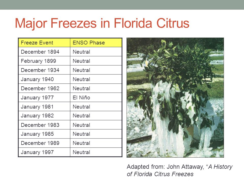 Major Freezes in Florida Citrus Freeze EventENSO Phase December 1894Neutral February 1899Neutral December 1934Neutral January 1940Neutral December 1962Neutral January 1977El Niño January 1981Neutral January 1982Neutral December 1983Neutral January 1985Neutral December 1989Neutral January 1997Neutral Adapted from: John Attaway, A History of Florida Citrus Freezes