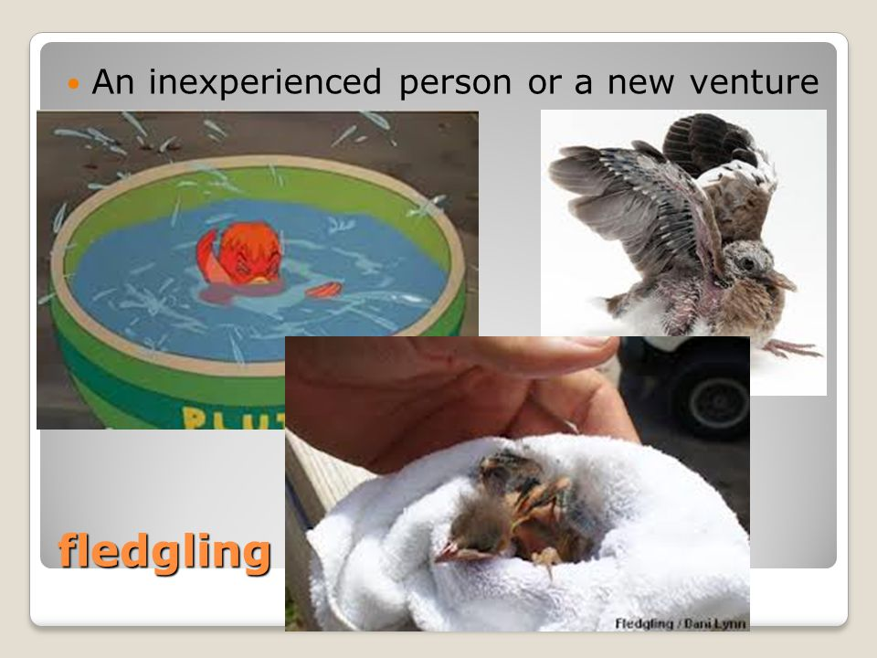 fledgling An inexperienced person or a new venture