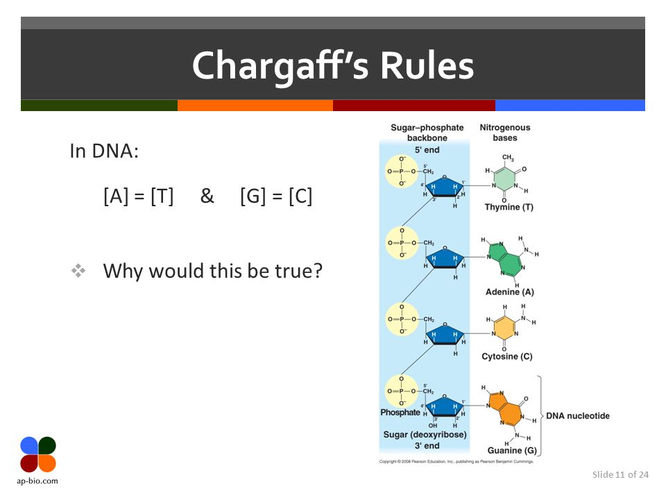 Slide 11 of 24 Chargaff's Rules In DNA: [A] = [T] & [G] = [C]  Why would this be true