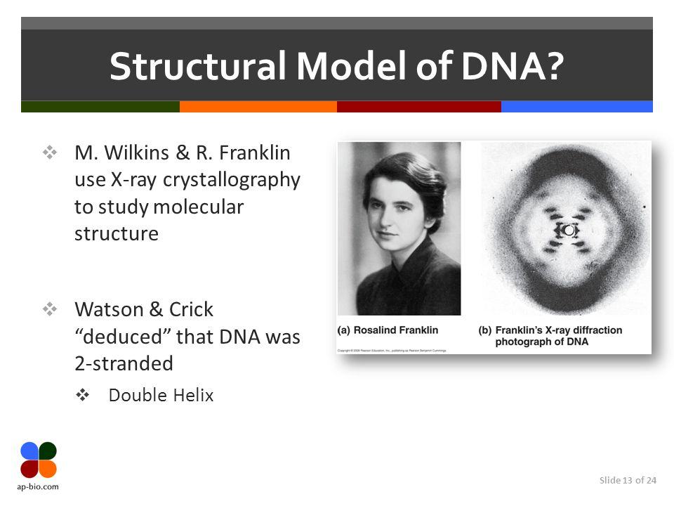 Slide 13 of 24 Structural Model of DNA.  M. Wilkins & R.