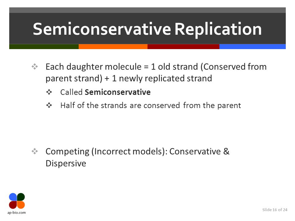 Slide 16 of 24 Semiconservative Replication  Each daughter molecule = 1 old strand (Conserved from parent strand) + 1 newly replicated strand  Called Semiconservative  Half of the strands are conserved from the parent  Competing (Incorrect models): Conservative & Dispersive