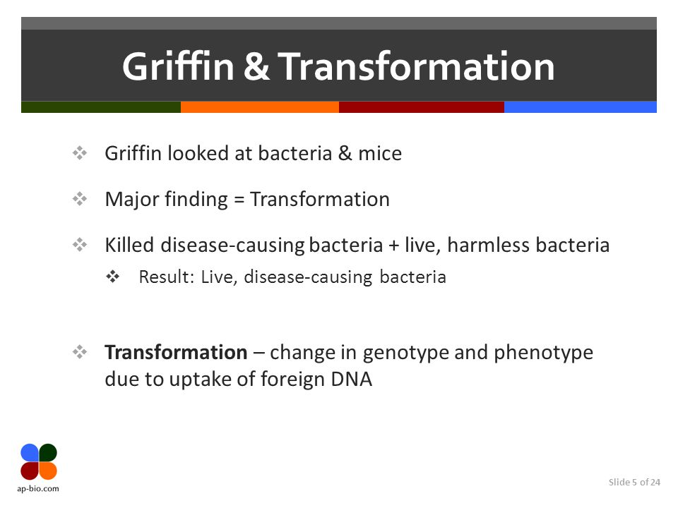 Slide 5 of 24 Griffin & Transformation  Griffin looked at bacteria & mice  Major finding = Transformation  Killed disease-causing bacteria + live, harmless bacteria  Result: Live, disease-causing bacteria  Transformation – change in genotype and phenotype due to uptake of foreign DNA