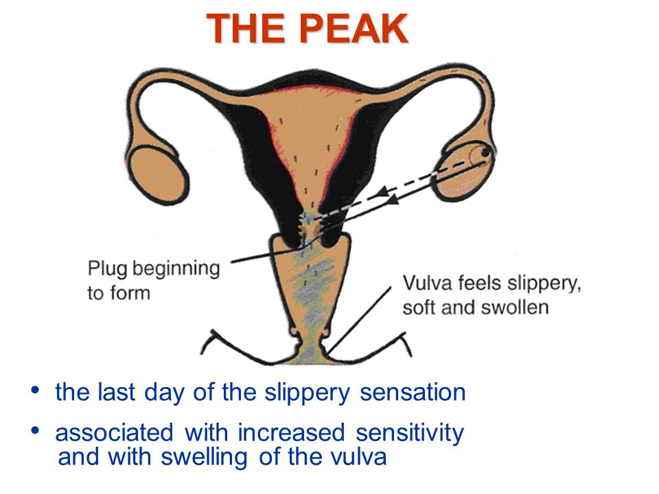 Maximum amount of mucus may diminish Slippery sensation may continue for a day or two Last day of slippery sensation the most fertile day of the cycle - PEAK OF FERTILITY Very close to the time of ovulation CHANGING PATTERN OF FERTILITY