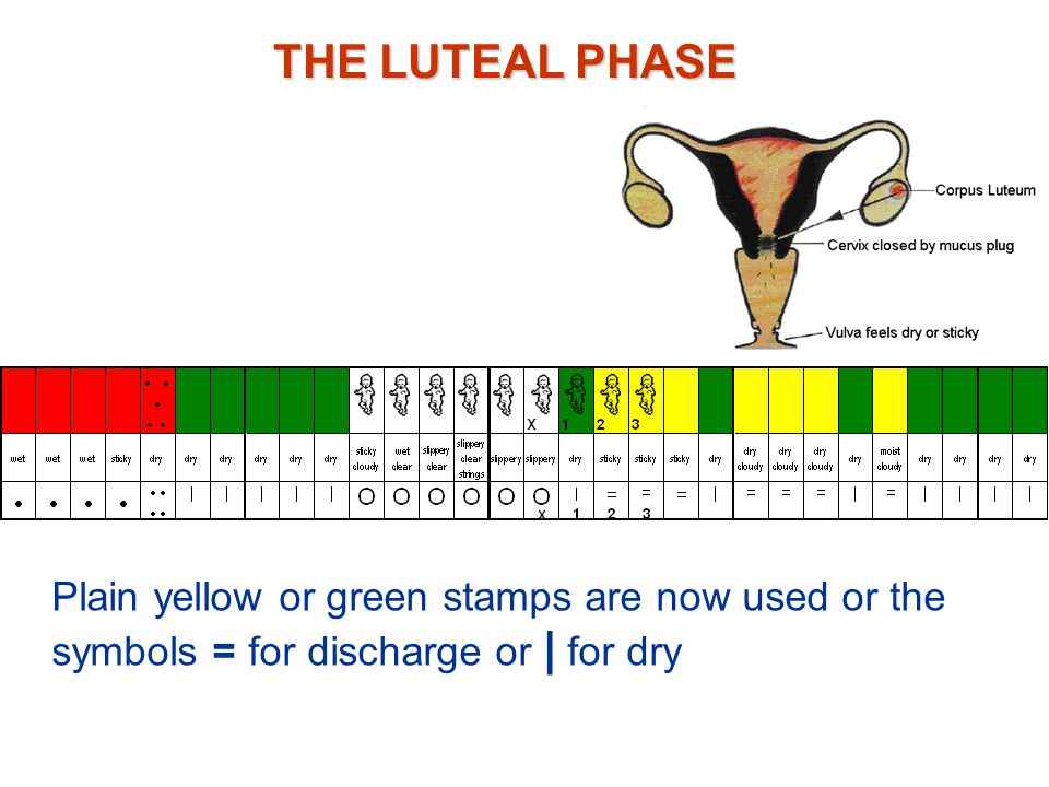 THE LUTEAL PHASE From the fourth day past Peak, cervix is closed Sperm cannot enter If not fertilized, the egg will have disintegrated