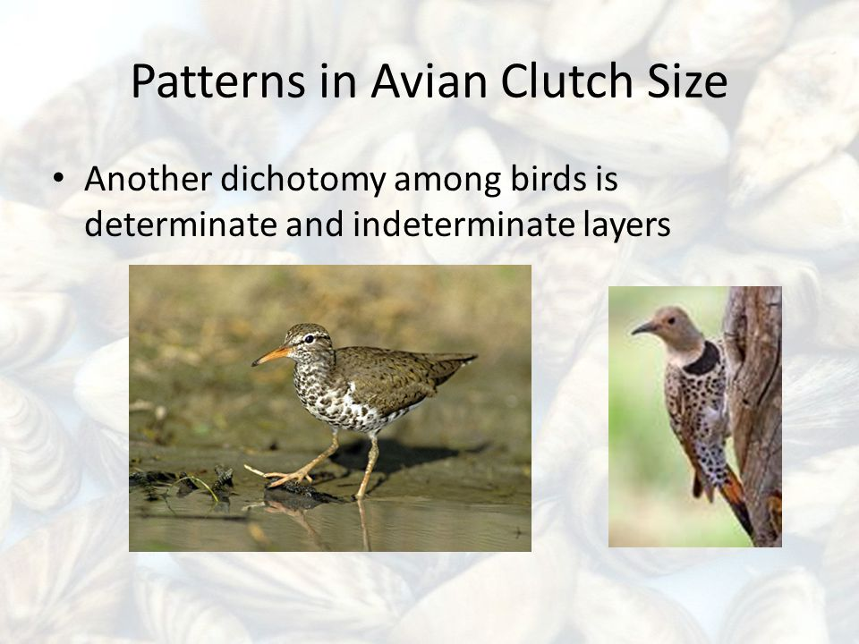 Patterns in Avian Clutch Size Another dichotomy among birds is determinate and indeterminate layers