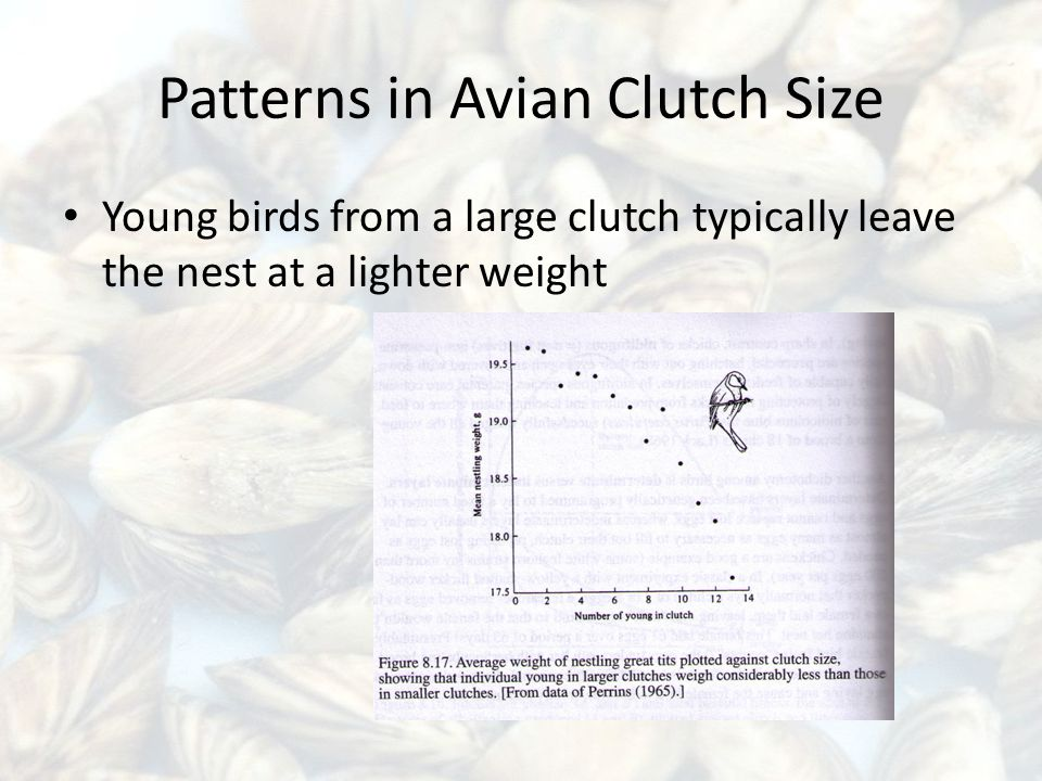 Patterns in Avian Clutch Size Young birds from a large clutch typically leave the nest at a lighter weight