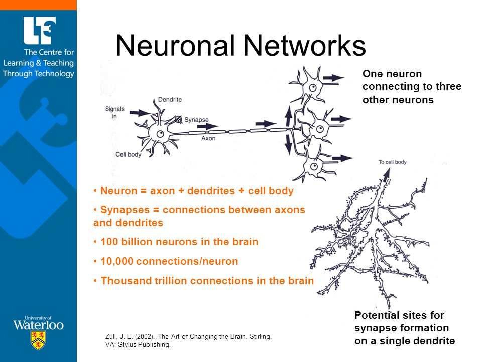 Neuronal Networks Zull, J. E. (2002). The Art of Changing the Brain. Stirling, VA: Stylus Publishing. Neuron = axon + dendrites + cell body Synapses =