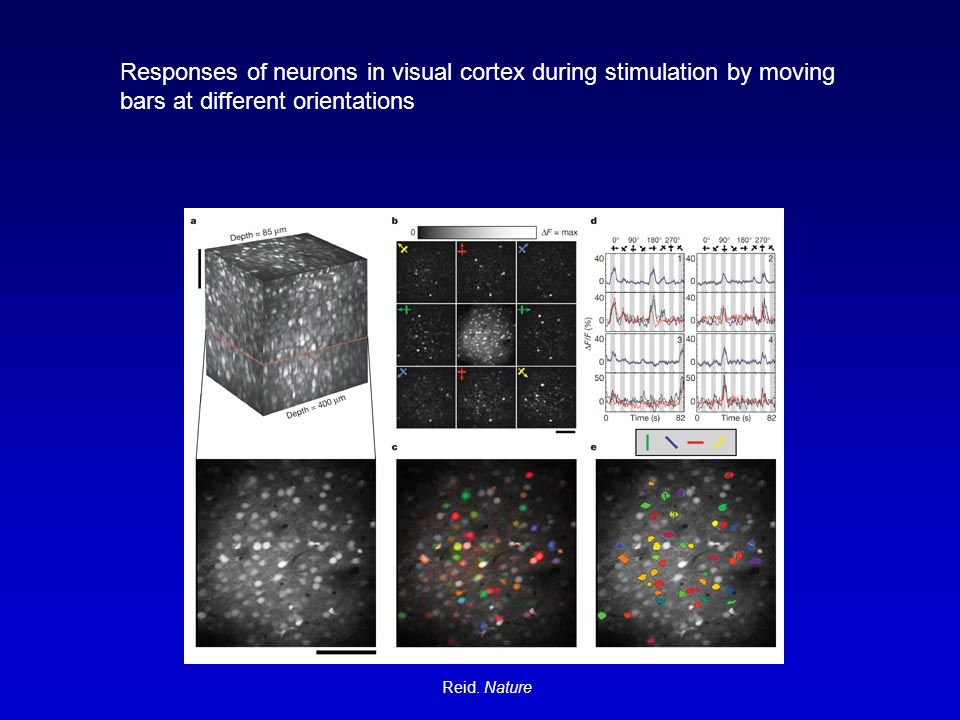 Responses of neurons in visual cortex during stimulation by moving bars at different orientations Reid.