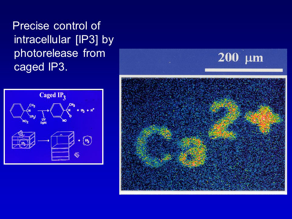 Precise control of intracellular [IP3] by photorelease from caged IP3.
