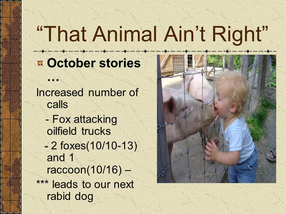 That Animal Ain't Right October stories … Increased number of calls - Fox attacking oilfield trucks - 2 foxes(10/10-13) and 1 raccoon(10/16) – *** leads to our next rabid dog