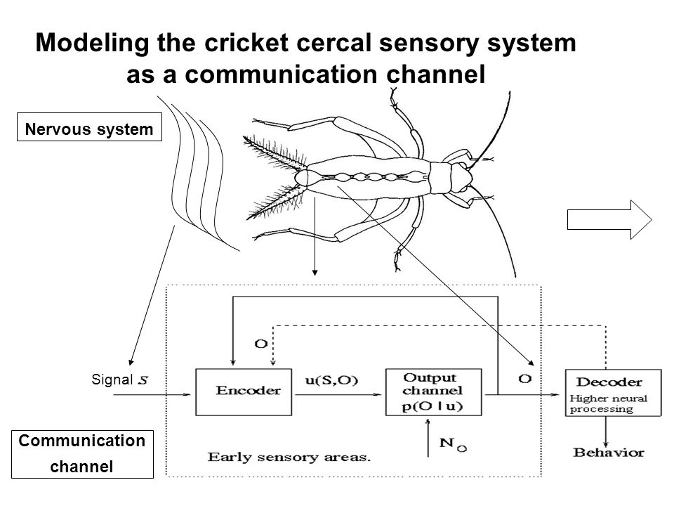 Signal Nervous system Communication channel Modeling the cricket cercal sensory system as a communication channel