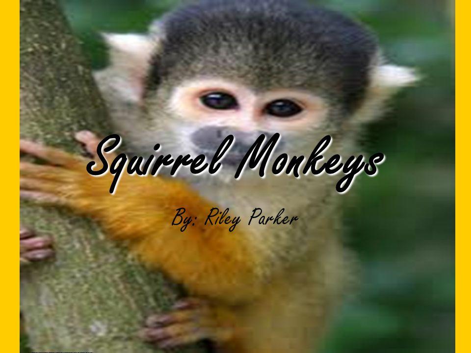 Squirrel Monkeys By: Riley Parker http://www.google.com/search?tbm=isch&hl=en&source=hp&biw=1093&bih=457&q=squirrel+monkey&gbv=2&oq=squirrel+&aq=0&aqi=g10&aql=&gs_l=img.1.0.0l10.3517l7882l0l28783l9l9l0l3l3l0l370l1264l0j3j2j1l6l0.frgbld.&surl=1