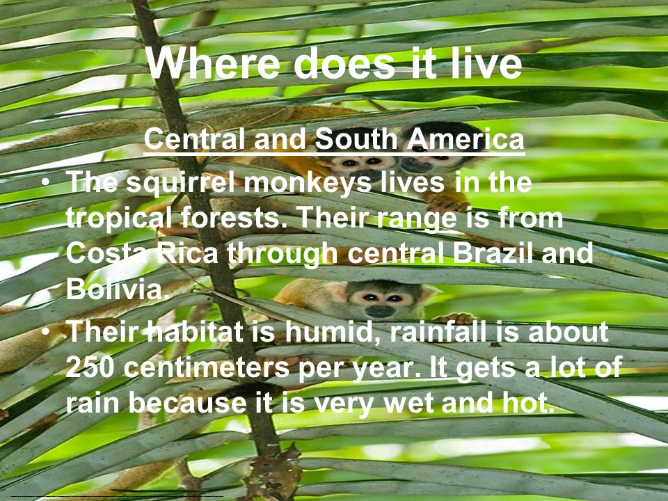Squirrel Monkeys By: Riley Parker http://www.google.com/search?tbm=isch&hl=en&source=hp&biw=1093&bih=457&q=squirrel+monkey&gbv=2&oq=squirrel+&aq=0&aqi