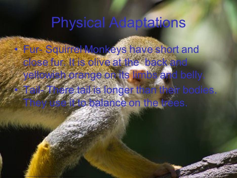 Physical Adaptations Fur- Squirrel Monkeys have short and close fur.