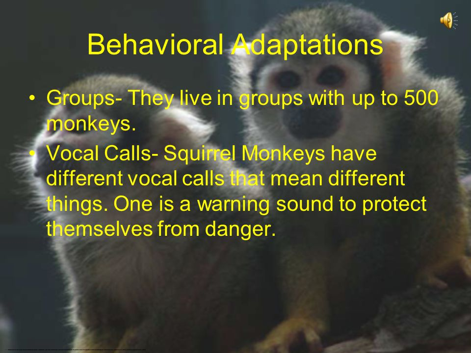 Physical Adaptations Fur- Squirrel Monkeys have short and close fur. It is olive at the back and yellowish orange on its limbs and belly. Tail- There