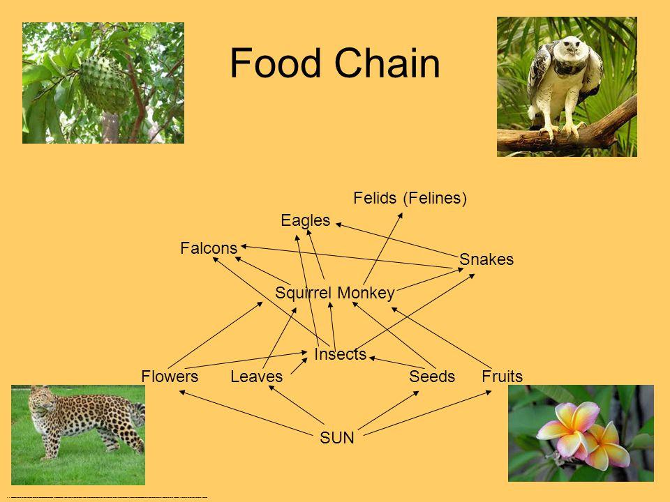 Food Chain Flowers Insects FruitsLeavesSeeds SUN Squirrel Monkey Falcons Snakes Felids (Felines) Eagles http://www.google.com/search?hl=en&q=felids&bav=on.2,or.r_gc.r_pw.r_qf.,cf.osb&biw=1280&bih=590&wrapid=tlif133363438859310&um=1&ie=UTF-8&tbm=isch&source=og&sa=N&tab=wi&ei=QaV9T8zrJomq8ATEufHeDA&surl=1#um=1&hl=en&tbm=isch&sa=1&q=squirrel+monkey+eating&oq=squirrel+monkey+eatin&aq=0&aqi=g1&aql=&gs_l=img.1.0.0.542235l550374l20l551890l22l21l0l4l4l0l234l1826l10j6j1l17l0.frgbld.&bav=on.2,or.r_gc.r_pw.r_qf.,cf.osb&fp=6f802cba19fbccc2&biw=1280&bih=590