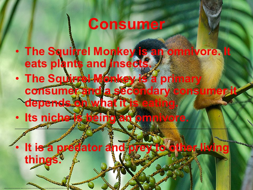 Consumer The Squirrel Monkey is an omnivore.It eats plants and insects.