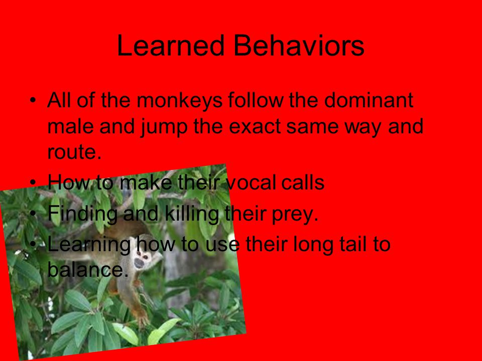 Learned Behaviors All of the monkeys follow the dominant male and jump the exact same way and route.