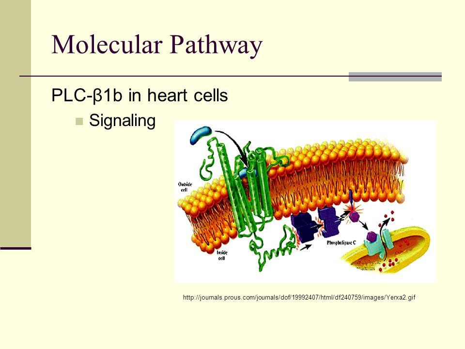 Molecular Pathway PLC-β1b in heart cells Signaling http://journals.prous.com/journals/dof/19992407/html/df240759/images/Yerxa2.gif
