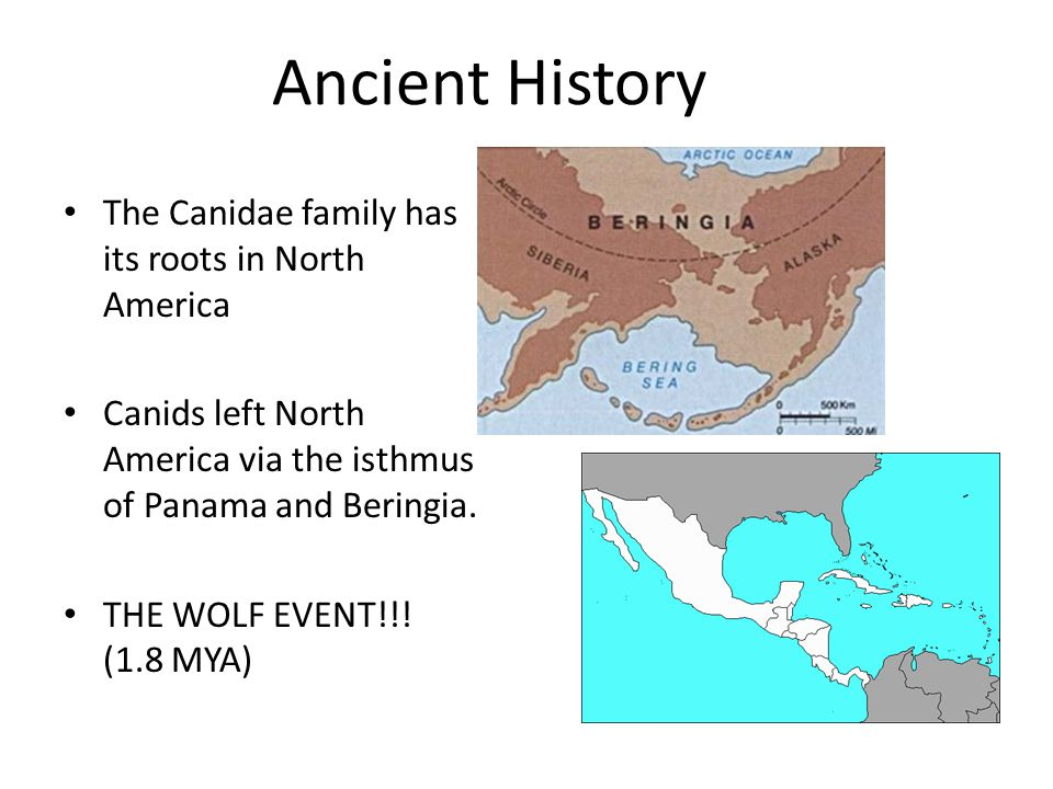 Ancient History The Canidae family has its roots in North America Canids left North America via the isthmus of Panama and Beringia. THE WOLF EVENT!!!