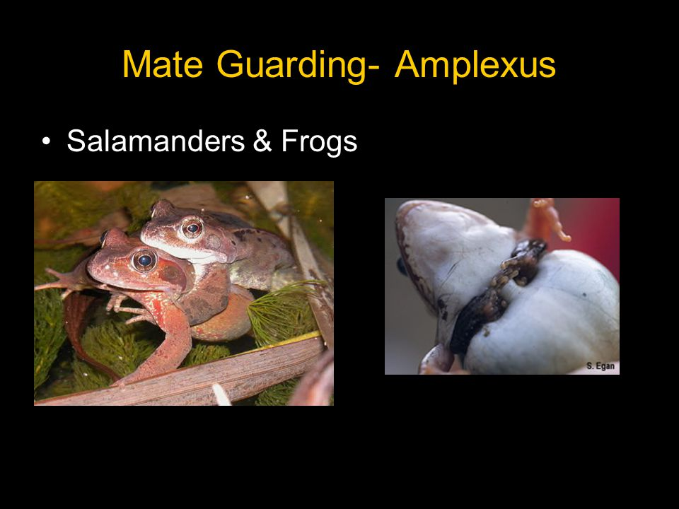 Mate Guarding- Amplexus Salamanders & Frogs