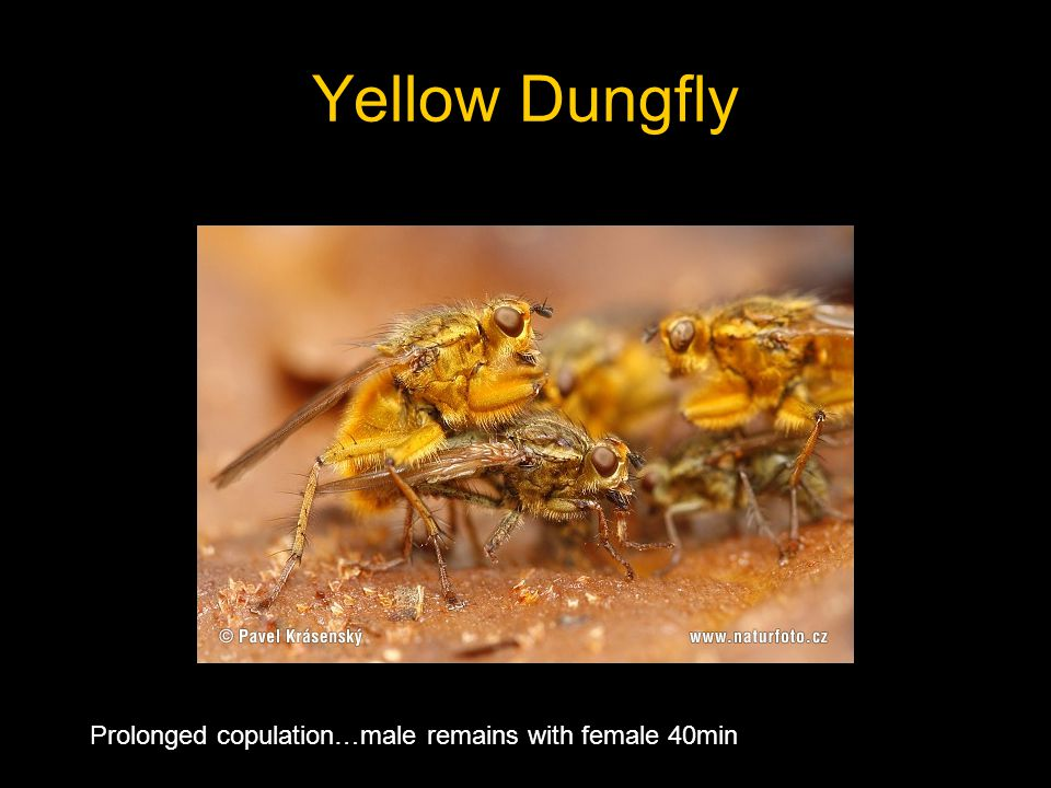 Yellow Dungfly Prolonged copulation…male remains with female 40min