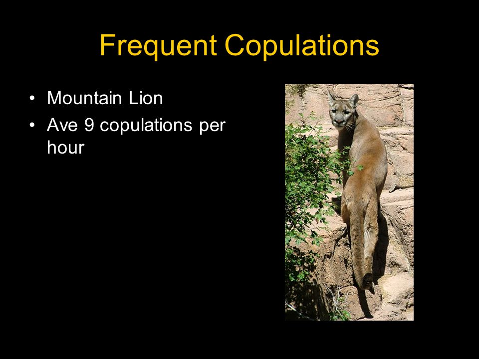 Frequent Copulations Mountain Lion Ave 9 copulations per hour