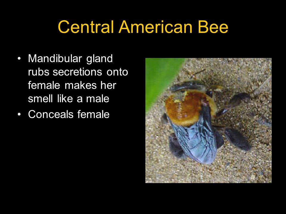 Central American Bee Mandibular gland rubs secretions onto female makes her smell like a male Conceals female