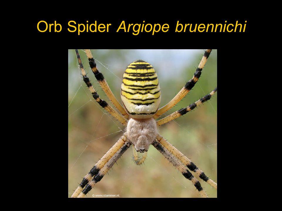 Orb Spider Argiope bruennichi