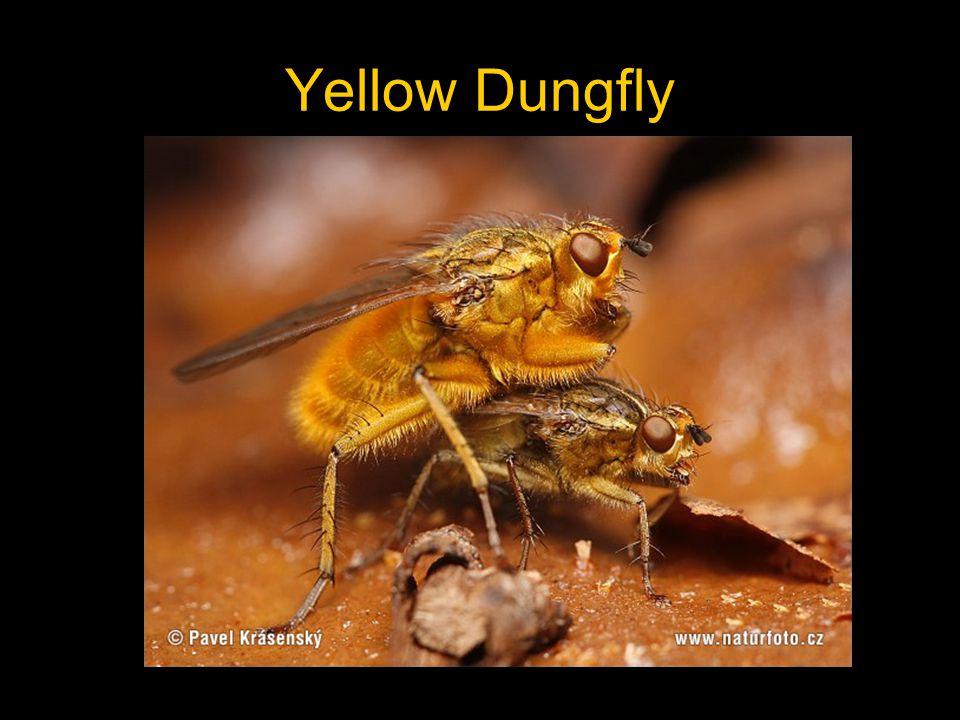 Douglas Fir Bark Beetle Male sequesters female in gallery