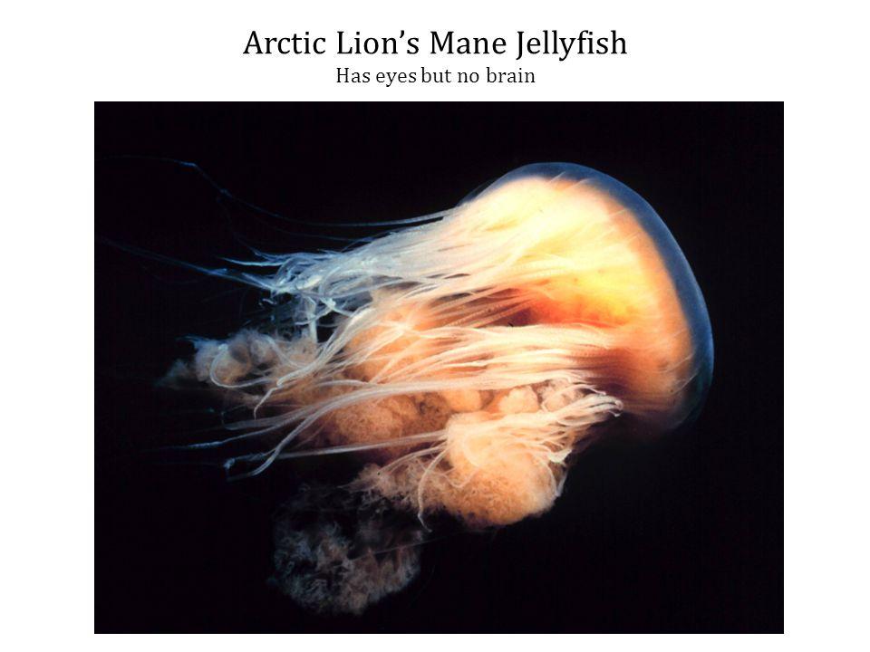 Arctic Lion's Mane Jellyfish Has eyes but no brain