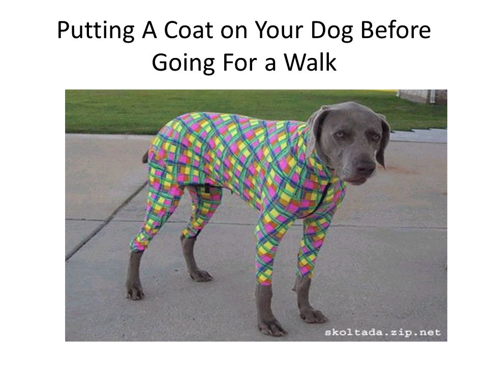 Putting A Coat on Your Dog Before Going For a Walk